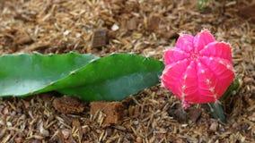 Цветок кактуса Gymnocalycium Стоковое Изображение RF
