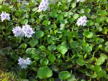 Цветок каннелюры в пруде стоковое изображение rf