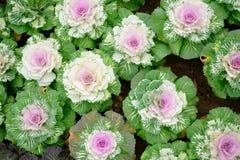 Цветок капусты Стоковые Фото