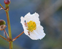 Цветок картошки утки (Broadleaf наконечник) стоковое фото rf