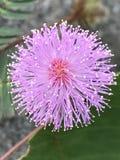 Цветок касани-меня-не стоковые изображения rf