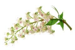 Цветок каштана или hippocastanum Aesculus, дерево плода конского каштана при листья изолированные на белой предпосылке Стоковые Фото