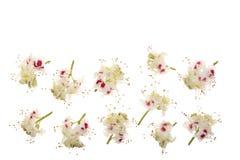 Цветок каштана или hippocastanum Aesculus, плод конского каштана изолированный на белой предпосылке с космосом экземпляра для ваш Стоковое Изображение RF