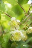 Цветок кивиа Стоковая Фотография RF