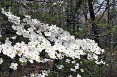 Цветок кизила Стоковое Изображение RF