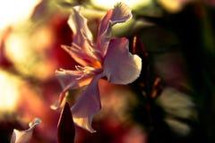 Цветок китайского redbud Стоковое Изображение RF