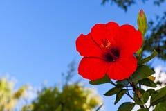 Цветок китайца розовый Стоковое Фото