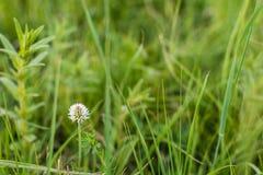 Цветок клевера Стоковые Фотографии RF
