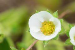 Цветок клубники на саде - Вьетнаме Стоковое фото RF