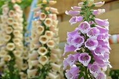 Цветок колокола колокольчика Стоковое Изображение RF