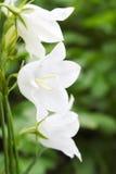 цветок колоколов стоковые изображения rf