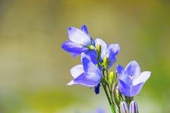 Цветок колокольчика Стоковое Изображение