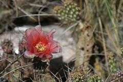 Цветок колючей груши стоковые фотографии rf