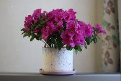 Цветок комнаты на светлой предпосылке Стоковая Фотография
