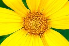 Цветок конца-вверх желтый Стоковая Фотография