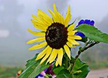 Цветок конца-вверх солнцецвета Растущий солнцецвет для делать бушель Стоковые Фото