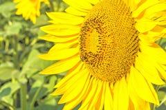 Цветок конца-вверх солнцецвета на предпосылке зеленых листьев Стоковое Фото