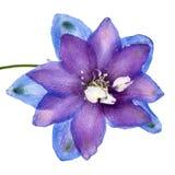 Цветок конца-вверх Delphinium (Larkspur), изолированного на белой предпосылке Стоковая Фотография RF
