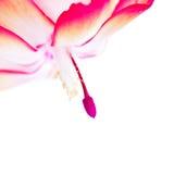 цветок конца рождества кактуса вверх Стоковое Фото