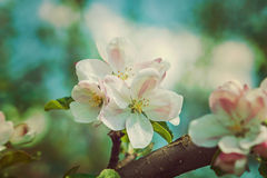 Цветок конца яблони вверх по версии стиля битника Стоковые Изображения RF