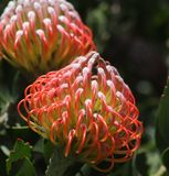 Цветок короля Protea с черной зеленой предпосылкой bokeh, закрывает вверх по взгляду стоковое изображение