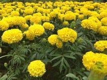 Цветок короля Rama IX Стоковая Фотография RF