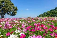 Цветок космоса в поле с деревом и голубым небом Стоковое Изображение
