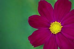 Цветок космоса крупного плана глубоко - розовый Скопируйте космос для текста Стоковое Изображение