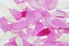 Цветок космоса лепестков Стоковые Изображения