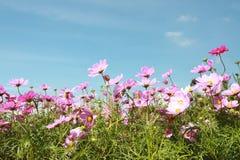 цветок космоса много пинк Стоковое фото RF