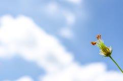 Цветок космоса под голубым небом в временени Стоковая Фотография