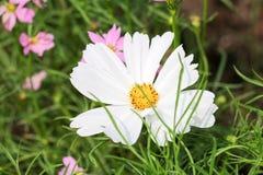 Цветок космоса предпосылки белые и свет 71 солнца Стоковая Фотография