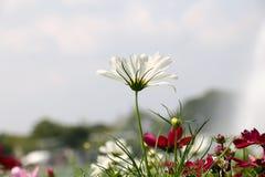 Цветок космоса предпосылки белые и свет 69 солнца Стоковая Фотография RF