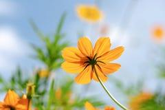 Цветок космоса с предпосылкой запачканной нежностью стоковое фото
