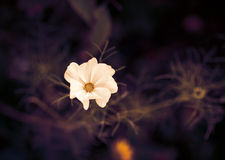 Цветок космоса тонизированное изображение Стоковая Фотография