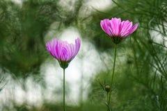 цветок космоса 2 Стоковые Изображения