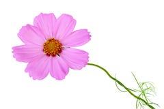цветок космоса Стоковые Изображения