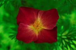 Цветок космоса стоковые фотографии rf
