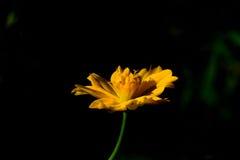 Цветок космоса Стоковая Фотография