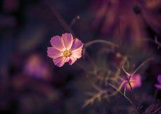Цветок космоса Стоковая Фотография RF