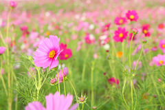 Цветок космоса Стоковые Фото