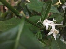 Цветок кофе в Шри-Ланка стоковое фото rf