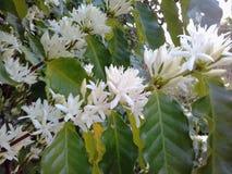 Цветок кофе Стоковое Изображение