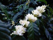 Цветок кофе Стоковые Фото