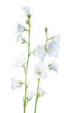 Цветок колокола изолированный на белой предпосылке Стоковые Фото