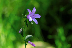 Цветок колокола Стоковые Изображения