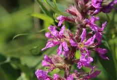Цветок колокольчика крапивы leaved (trachelium колокольчика) Стоковые Изображения