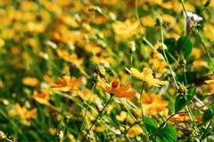 Цветок красивого цветения желтый на солнечный день стоковая фотография rf