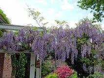 цветок красивой смертной казни через повешение фиолетовый в немецком саде Европе Стоковые Фото