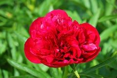 Цветок красного бутона одиночный в траве Стоковые Изображения